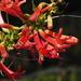 Keckiella ternata ternata - Photo (c) Fred Melgert / Carla Hoegen,  זכויות יוצרים חלקיות (CC BY-NC)