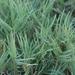 Distichlis spicata - Photo (c) Lauren Glevanik,  זכויות יוצרים חלקיות (CC BY-NC)