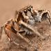 Habronattus clypeatus - Photo (c) Marshal Hedin, μερικά δικαιώματα διατηρούνται (CC BY-NC-SA)