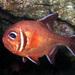 Trachichthys australis - Photo (c) Sascha Schulz, algunos derechos reservados (CC BY-NC)