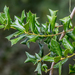 Chinese Holly - Photo (c) amarcianae, some rights reserved (CC BY-NC)