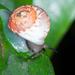 Helicinidae - Photo (c) Marc AuMarc, osa oikeuksista pidätetään (CC BY-NC-ND)