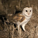 Barn Owl - Photo (c) Mark Dennis, some rights reserved (CC BY-NC)