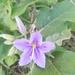 Solanum houstonii - Photo (c) douglas_moore, osa oikeuksista pidätetään (CC BY-NC)