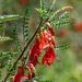 Lessertia frutescens - Photo (c) magriet b, osa oikeuksista pidätetään (CC BY-SA)