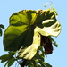 Jatropha platyphylla - Photo (c) Francisco Farriols Sarabia,  זכויות יוצרים חלקיות (CC BY)