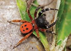 Eresus moravicus - Photo (c) Walter Pfliegler, μερικά δικαιώματα διατηρούνται (CC BY)