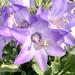 Campanula versicolor - Photo (c) Linde Muller, μερικά δικαιώματα διατηρούνται (CC BY-NC)
