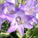 Campanula versicolor - Photo (c) Linde Muller, alguns direitos reservados (CC BY-NC)