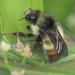 Bombus flavifrons - Photo (c) Liz Osborn, algunos derechos reservados (CC BY-NC)