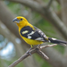 Pheucticus Grosbeaks - Photo (c) sandradennis, some rights reserved (CC BY-NC)