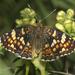 Phyciodes pulchella - Photo (c) Bill Bouton, algunos derechos reservados (CC BY-NC-SA)
