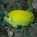 Lemonpeel Angelfish - Photo (c) Mark Rosenstein, some rights reserved (CC BY-NC-SA)