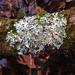 Parmelia squarrosa - Photo (c) Tomás Curtis, algunos derechos reservados (CC BY-NC)