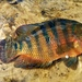 Mayan Cichlid - Photo (c) pmk00001, some rights reserved (CC BY-NC)