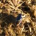 Chilothorax paykulli - Photo (c) hobbes32, algunos derechos reservados (CC BY-NC)