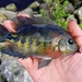 Redhead Cichlid - Photo (c) pmk00001, some rights reserved (CC BY-NC)
