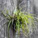 Tillandsia variabilis - Photo (c) Ronda Groom, algunos derechos reservados (CC BY-NC)