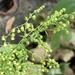Artemisia annua - Photo (c) Sandy Wolkenberg, algunos derechos reservados (CC BY)
