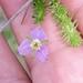 Mayaca sellowiana - Photo (c) Edson Gasperin, algunos derechos reservados (CC BY-NC)