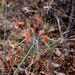 Eucrosia eucrosioides - Photo (c) Green Jewel, μερικά δικαιώματα διατηρούνται (CC BY-NC)