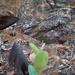 Caprimulgus longipennis - Photo (c) Nik Borrow, alguns direitos reservados (CC BY-NC)