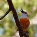 Miombo Rock-Thrush - Photo (c) i_c_riddell, some rights reserved (CC BY)