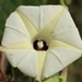 Obscure Morning Glory - Photo (c) 葉子, some rights reserved (CC BY-NC-ND)
