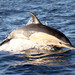 Short-beaked Common Dolphin - Photo (c) Martin Grimm, some rights reserved (CC BY-NC)