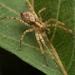 Anyphaenidae - Photo (c) Михайло Піцур,  זכויות יוצרים חלקיות (CC BY-NC)