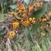 Daviesia latifolia - Photo (c) oranamr, μερικά δικαιώματα διατηρούνται (CC BY-NC)