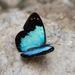 Lymanopoda caeruleata - Photo (c) Rich Kostecke, algunos derechos reservados (CC BY-NC)