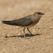 Black-winged Pratincole - Photo (c) Marcel Holyoak, some rights reserved (CC BY-NC-ND)
