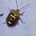 Axiagastus rosmarus - Photo (c) Takaaki Hattori, algunos derechos reservados (CC BY-NC)