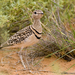 Smutsornis africanus - Photo (c) Jo Mur,  זכויות יוצרים חלקיות (CC BY-NC-ND)