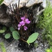 Indigofera ovata - Photo (c) Jenny, algunos derechos reservados (CC BY-NC)