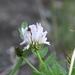 Astragalus inopinatus - Photo (c) Игорь Поспелов,  זכויות יוצרים חלקיות (CC BY-NC)