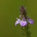 Purple Justicia - Photo (c) Himanshu Pandav, some rights reserved (CC BY-NC)