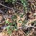 Jasminum didymum racemosum - Photo (c) Martin Bennett, μερικά δικαιώματα διατηρούνται (CC BY-NC)