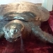 Yangtze Giant Softshell Turtle - Photo (c) Paulius Rupšas, some rights reserved (CC BY)