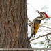 Black-rumped Flameback - Photo (c) Imran Shah, some rights reserved (CC BY-SA)
