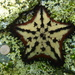 Estrella de Mar Chispas de Chocolate - Photo (c) ponkyjoe, algunos derechos reservados (CC BY-NC)