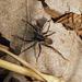 Pardosa moesta - Photo (c) Ken Potter, alguns direitos reservados (CC BY-NC)