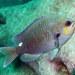 Chromis hypsilepis - Photo (c) John Turnbull, algunos derechos reservados (CC BY-NC-SA)