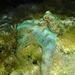 Pulpo del Arrecife Caribeño - Photo (c) Rachel Andres-Beck, algunos derechos reservados (CC BY-NC)