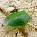 Acrosternum - Photo (c) katunchik,  זכויות יוצרים חלקיות (CC BY)