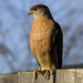 Cooper's Hawk - Photo (c) Jim Johnson, some rights reserved (CC BY-NC-ND)