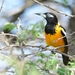 Venezuelan Troupial - Photo (c) Michael Tromp, some rights reserved (CC BY-NC)
