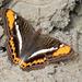 Adelpha corcyra salazari - Photo (c) Rich Kostecke, algunos derechos reservados (CC BY-NC)