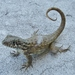 Curly-tailed Lizards - Photo (c) Thomas Brown, some rights reserved (CC BY-NC), uploaded by kogia